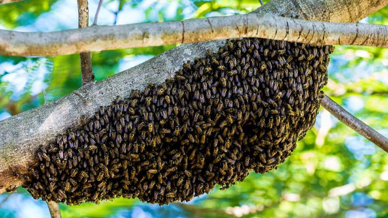 Bienenschwarm am Ast