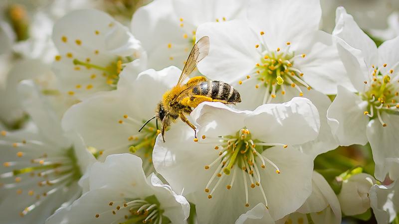 Biene auf Kirschblüte