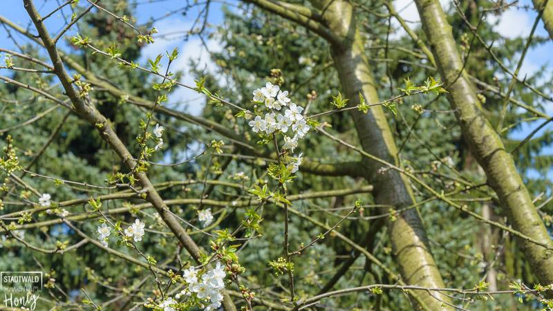 Beginnende Kirschblüte in unserem Garten