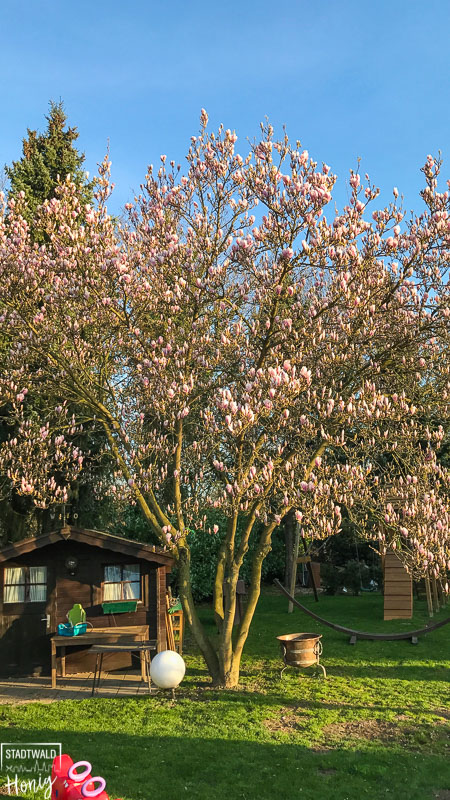Blühende Magnolie in unserem Garten