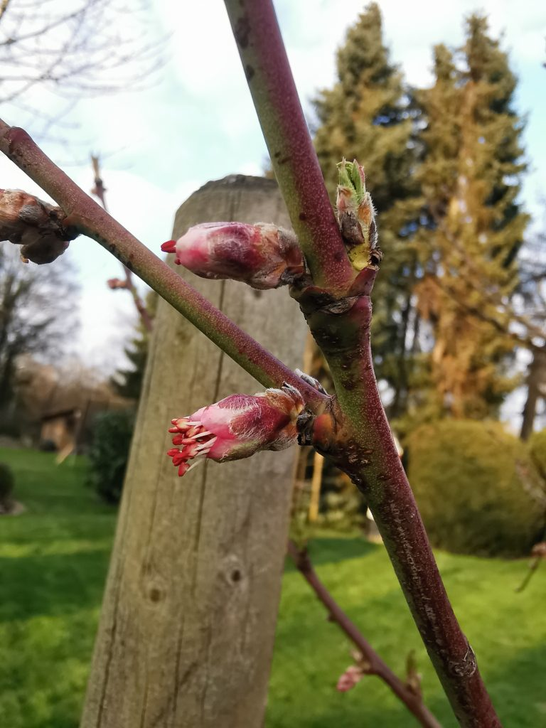 Pfirsischblüte