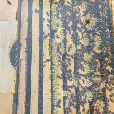 Produktbild Ableger Jungvolk Blick ins Bienenvolk
