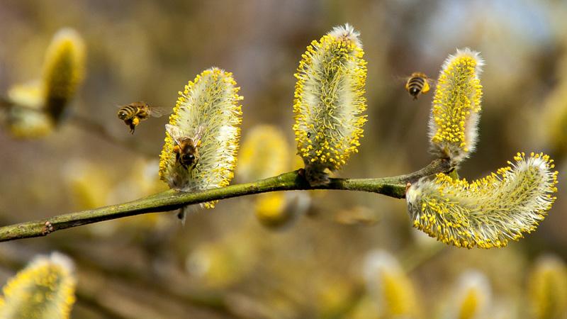Bienen auf Weidenkätzchen